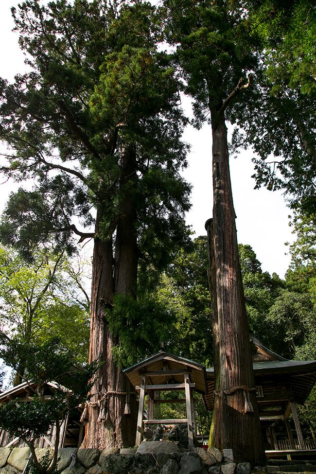 静原神社のご神木